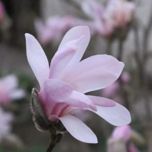 Beautiful Magnolias